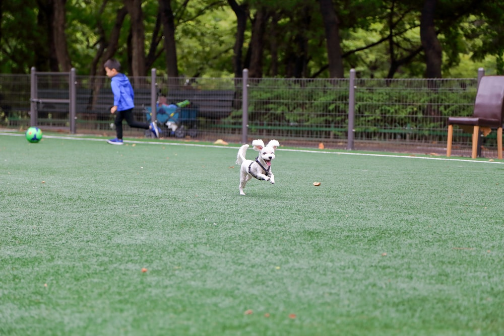 small dog running on atificial turf